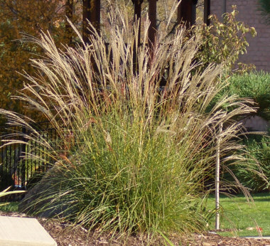 MISCANTHUS transmorrisonensiTaiwanese miscanthus - Plant in full sun. Height 3 to 4 feet. Plumes appear mid-summer and grow high above the foliage.