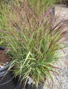 PANICUM virgatum 'Shenandoah'Switch Grass - Sun to partial shade. Open reddish purple panicles appear late summer into fall. There are several cultivars or varieties. Height 4 to 6 feet.