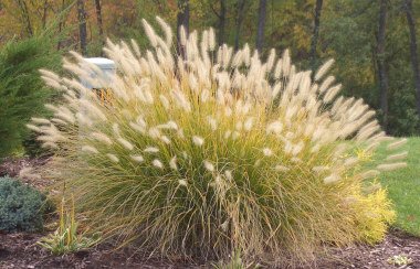 PENNISETUM alopecuroides'Hamelin'Dwarf Fountain Grass - Plant in full sun. Compact growing grass. Plumes appear late summer into Fall. Height 2 to 3 feet.