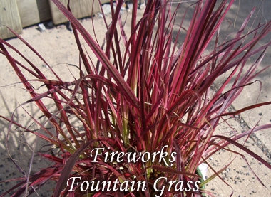 PENNISETUM setaceum 'Fireworks'Fireworks Fountain Grass - Striking white, green, pink and burgundy variegated foliage with purple plumes in summer. Grow in full to partial sun, growth to 3 feet tall and 2 feet wide, hardiness zones 9 to 11.