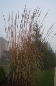 SACCHARUM ravennaeRavenna grass - Plant in full sun. Also called 'Hardy Pampas Grass.' Tall upright plumes form in late summer. Height 12 to 14 feet.