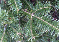 Cook Fir foliage