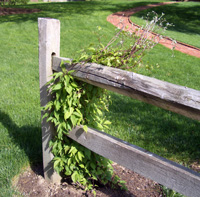 Clematis growing on a split rail fence