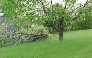 AVOIDING PROBLEM TREES  High winds on Mother's Day 2002 caused this Bradford Pear to split-out. Even though they have many desirable characteristics, their rapid growth habit causes problems. Therefore we do not recommend planting Bradford Pears since they are subject to splitting, mostly from ice and wind storms.
