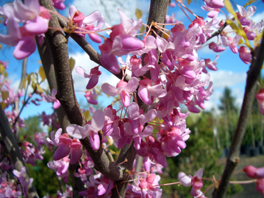 Cercis canadensis 'The Rising Sun'™ - The Rising Sun Easter™ Redbud Low BranchOrchid rose flowers appear with leaves on the stems. Fall color is a rich golden, orange to bronze.