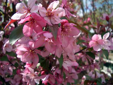 'Royal Raindrops' flowering crabapple -