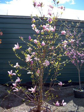Magnolia 'Jane' - Jane MagnoliaOne of the 'Little Girl' Magnolias that is one of Bob's favorites! Fantastic fragrance from lovely Spring blossoms. Deer tend to leave this tree alone.