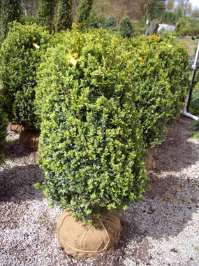 Photos Of Evergreen Shrubs Used For Landscaping