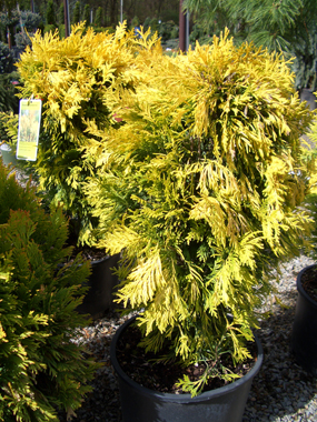 Thuja plicata '4EVER' - Forever Goldy ArborvitaeGolden-yellow foliage on a compact conifer with quick growth. Orange fall color with red stems during winter.