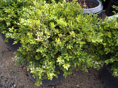 Buxus sempervirens x microphylla Koreana - Green Velvet BoxwoodRounded growth habit with attractive evergreen foliage that can be sheared or allowed to grow naturally. Deer resistance is an added bonus.
