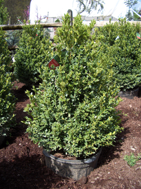 Buxus x 'Green Mountain' - Green Mountain BoxwoodCone-shaped, upright growth with dark green foliage. Moderate growth to 5 ft tall x 3 ft wide. Used for hedges.