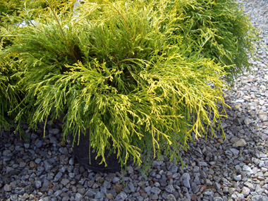 Chamaecyparis pisifera 'Golden Mop' - Golden Mop CypressGrow this versatile and colorful shrub in full sun. Deer resistance to browsing. Shear lightly to help maintain a more compact and thrifty shape.