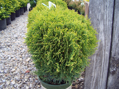 Thuja occidentalis 'Little Giant' - Little Giant Dwarf ArborvitaeSmall, globe-shaped evergreen with good color through the winter months.