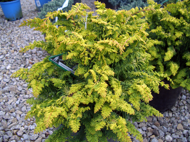 Chamaecyparis obtusa 'Fernspray Gold' - Fernspray Gold Hinoki CypressArching sprays of golden, fernlike foliage showing its best color in full sun.