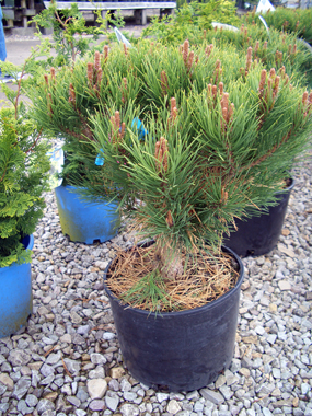Pinus densiflora 'Globosa' - Globe Japanese Red PineDark green needles and orange-red bark add interest to this sturdy pine that grows slightly taller than it does wide.
