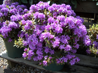 Rhododendron 'Purple Gem' - Purple Gem RhododendronLovely, heavily flowered purple rhododendron with a compact growth habit.RHODODENDRON PHOTO GALLERY