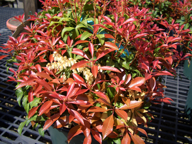 Pieris japonica 'Mountain Fire' - Mountain Fire Japanese AndromedaFiery-red new growth makes this Andromeda stand out from the rest in springtime. Deer resistant, prefers a partially sheltered growing location with good drainage.