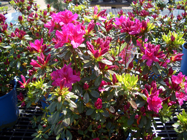 AZALEA x 'Girard Fuchsia' - Girard Fuchsia AzaleaExhilarating ruffled 2-inch electric fuchsia-raspberry blooms. Glossy foliage that turns a reddish color in fall.