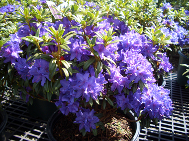 'Blue Baron' Rhododendron is hardy to Zone 6 which is equivalent to -10 degrees F.
