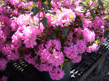 Rhododendron 'Olga Mezitt' - Olga Mezitt RhododendronWavy, vibrant pink, lightly scented flowers on this compact evergreen shrub in spring. Tolerates more heat and sun than other varieties. Zones 4 - 8.
