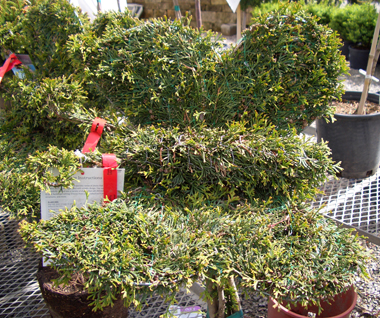 BUTTERFLY topiary from 'Emerald Green' Arborvitaes