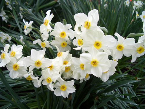 Geranium Narcissus with multiple, fragrant flowers on each stem
