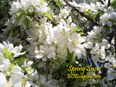 'Spring Snow' flowering crabapple -