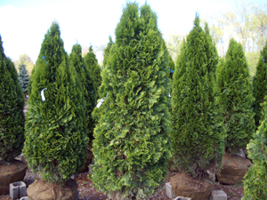 Arborvitae 'Smaragd' - Thuja occidentalis 'Smaragd'One of the most popular evergreens for screening when planted as a tall hedge. Pyramidal, narrow growth with dense, emerald green foliage. Tolerates heat and humidity. Grow in full sun. Zone 4 - 8.