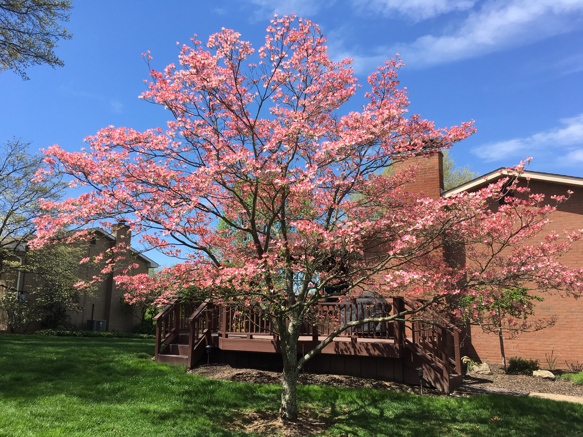 Flowering dogwoods are having an exceptional Spring!