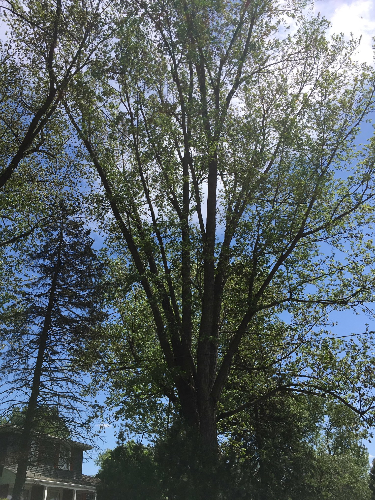 When a Silver Maple tree this tall releases its helicopters, they fly a long distance!    Bob