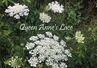 Poison Hemlock is often confused with Queen Anne's Lace, but notice the difference in the flowers.