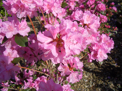 Rhododendron 'Olga Mezitt' - Olga Mezitt RhododendronBrilliant pink, lightly scented flowers cover this cold hardy, compact evergreen in spring. Green foliage turns to a mahogany color in fall. Takes more heat and sun than other varieties. Full sun to partial shade. Zone 4 to 8.