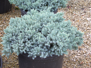Blue Star Juniper - Juniperus squamata 'Blue Star'Rich blue foliage year round. Compact, slow growing plant to 3 ft across. Ideal for rock gardens and small beds. BOBscaping favorite!