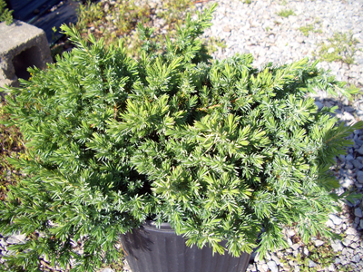 Blue Pacific Juniper - Juniperus conferta 'Blue Pacific'Blue-green foliage all year, Full sun to partial shade, Growth to 12