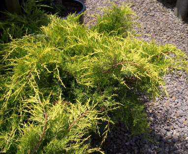 Juniperus chinensis 'Old Gold' - Juniperus chinensis 'Old Gold'Outstanding gold color with growth to 3 ft tall x 5 ft across.