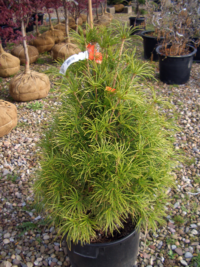 Sciadopitys verticillata - Japanese Umbrella PineSlow growing and very expensive evergreen tree with unusual foliage and exfoliating reddish-brown bark. Slow growth to 30 ft tall x 20 ft wide.