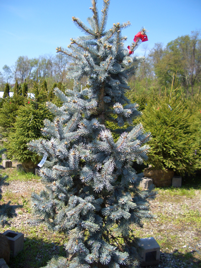 Picea pungens 'Hoopsi' - Hoopsi Blue SpruceStriking silver-blue needles on this dense growing, pyramidal spruce will add garden interest year round. Moderate rate of growth to 50 ft tall x 20 ft wide. Plant as a specimen in full sun to partial shade. Hardy in Zones 2 - 7.