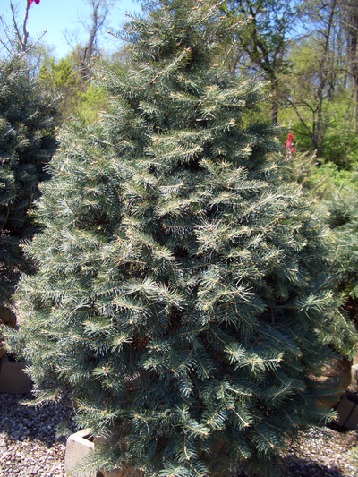 Photographs Of Evergreen Trees Bobscaping Gardening And
