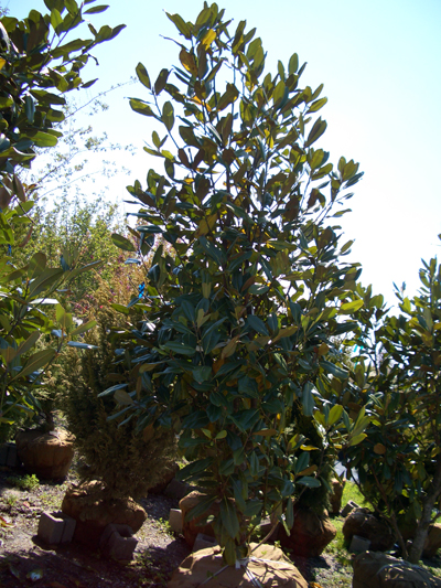 Magnolia grandiflora 'Edith Bogue' - Large Flowered MagnoliaBroadleaf evergreen tree with dark green leaves and white, fragrant, showy blossoms in late Spring to early summer. Growth to 60 feet tall x 30 feet wide. Zone 6 to 9 but plant in protected locations in colder zones to provide winter protection.