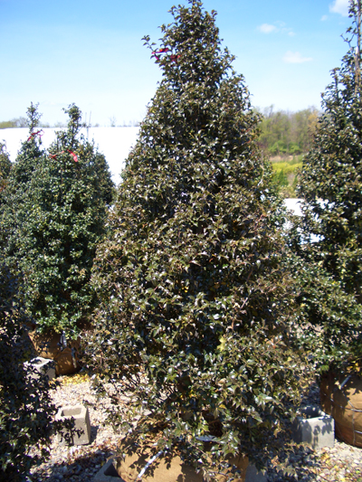 Ilex x meserveae 'Dragon Lady' - Grow in sun to partial shade. Slow growth to 15 ft tall x 5 ft wide. Extremely sharp points on the leaves helps make it deer resistant!