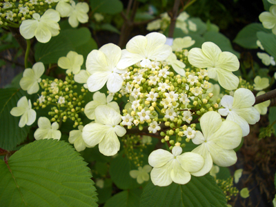Viburnum plicatum f. tomentosum 'Shasta' - Doublefile ViburnumWhite blossoms, makes a showy hedge in Spring. Showy fruit in fall as well. Grow in full sun to partial shade, trim right after blooming. Growth to 8 feet tall x 12 feet wide. Zone 5 to 8.