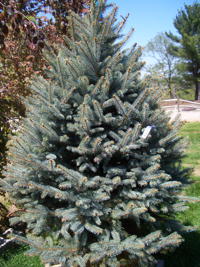 Picea pungens 'Fat Albert' - Fat Albert Colorado Blue SpruceRich blue needles on a densely branched, pyramidal form. A very slow grower that's good as a landscape specimen. Grows to 40 feet tall x 20 feet wide. Grow in full sun to partial shade. Zone 2 to 8.