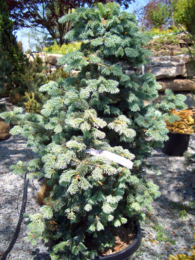 Abies lasiocarpa 'Marthas Vineyard' - Martha's Vineyard FirDwarf, pyramidal shaped, blue Alpine Fir. Grows to 4 feet tall in 10 years, reaches 30 feet tall x 12 feet wide. Requires good soil drainage and winter protection from wind. Grow in full sun to partial shade. Zone 5 to 8.