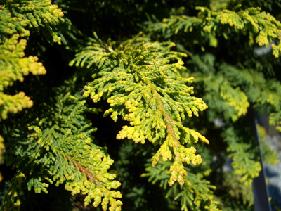 Chamaecyparis obtusa'Fernspray Gold' - Golden Fernspray Hinoki CypressUpright growing selection of Hinoki cypress with dense pyramidal growth featuring twisted golden, fern-like, flattened branches. Grows up to 10 feet tall in 10 years.