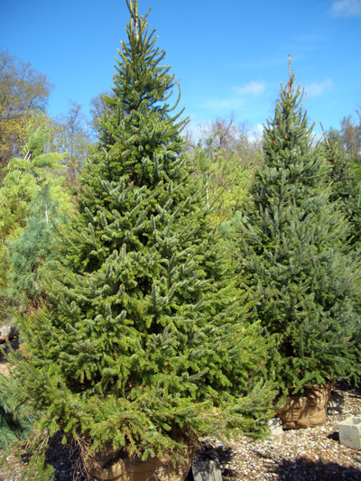 Picea omorika - Serbian SpruceCan be planted as a specimen or a street tree. Deer resistant, tolerates air pollution, handles heat and humidity better than most spruce. Grows to 60 feet tall x 20 feet wide. Zone 4 to 7.
