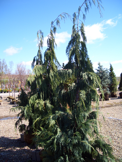 Chamaecyparis nootkatensis 'Glauca Pendula' - Blue Weeping Alaskan CedarGraceful blue green weeping evergreen foliage makes this fast growing tree very popular. Plant to allow room for growth. Branches make nice fresh-cut decorative Christmas greens.Height to 35 ft. with a 20 ft. spread.