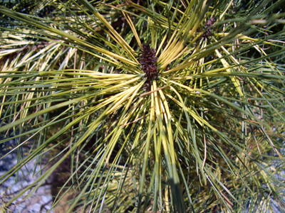 Pinus densiflora 'Burke's Red Variegated' - Japanese Red PineUpright, pyramidal shape with green foliage accented by a