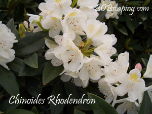 chinoides_rhododendron.jpg