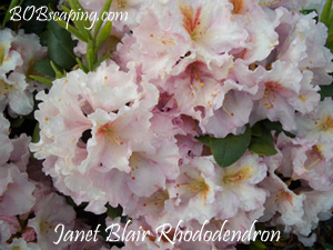 janet-blair_rhododendron.jpg