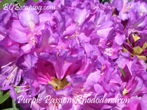 purple-passion-rhododendron.jpg